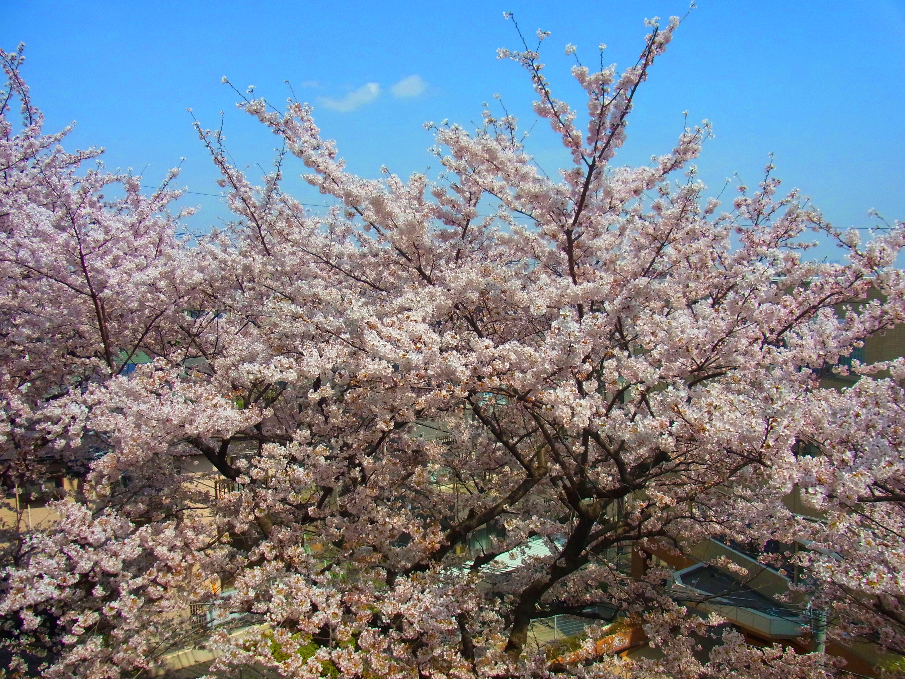事務所から見える桜